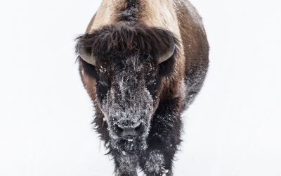 Be the Buffalo